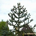 blahočet 'monkey puzzle tree'