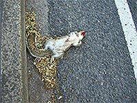 mrtvá veverka