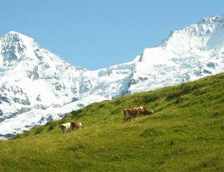 Allmendhubel krávy švýcarsko