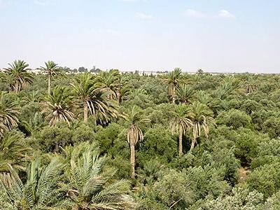 Sýrie Palmýra palmy