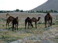 Sýrie Palmýra velbloudi