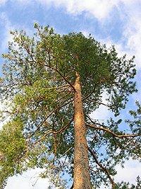 Finská borovice