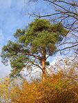 Borovice podzim