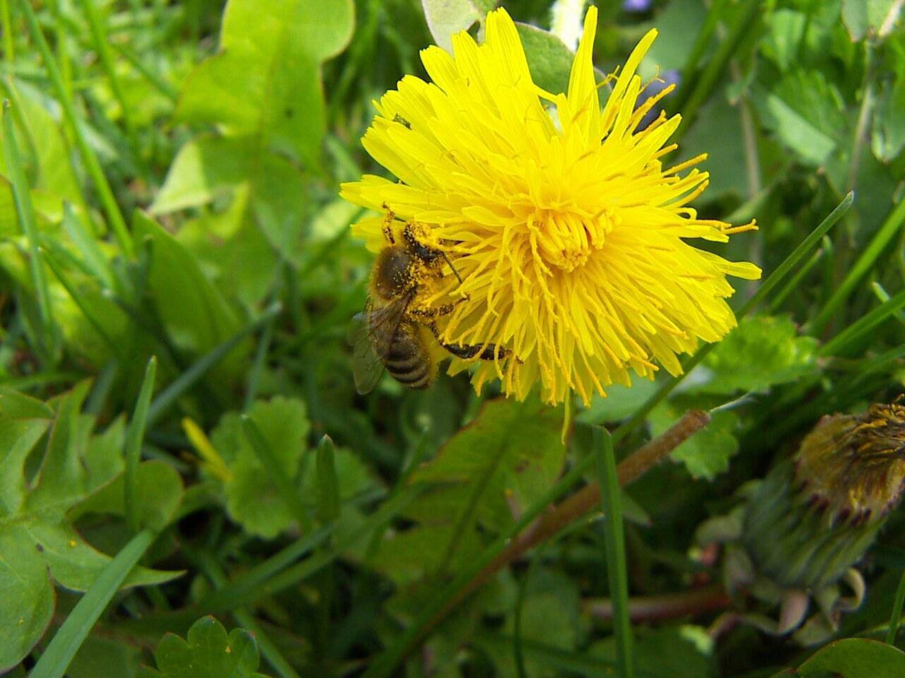 http://www.stavela.cz/osobni/fotogalerie/rostliny/stavela_cz_pampeliska.jpg